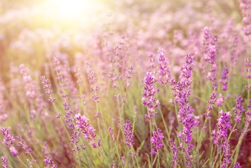 Growing lavender is easier than you think